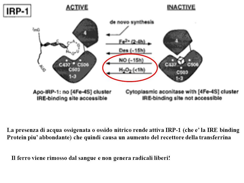 La presenza di acqua ossigenata o ossido nitrico rende attiva IRP-1 (che e' la IRE binding Protein piu' abbondante) che quindi causa un aumento del recettore della transferrina Il ferro viene rimosso dal sangue e non genera radicali liberi!