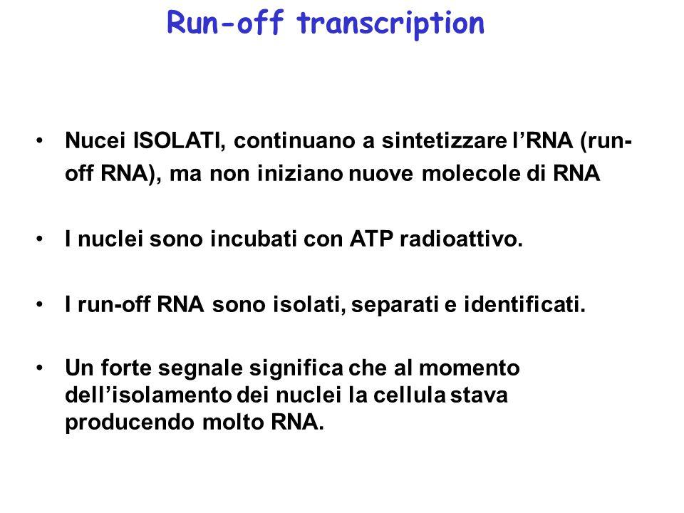 Nucei ISOLATI, continuano a sintetizzare l'RNA (run- off RNA), ma non iniziano nuove molecole di RNA I nuclei sono incubati con ATP radioattivo.