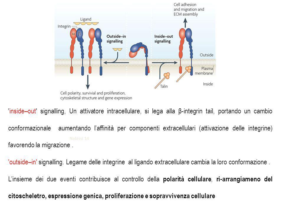 Nabissi 14 inside–out signalling, Un attivatore intracellulare, si lega alla β-integrin tail, portando un cambio conformazionale aumentando l'affinità per componenti extracellulari (attivazione delle integrine) favorendo la migrazione.