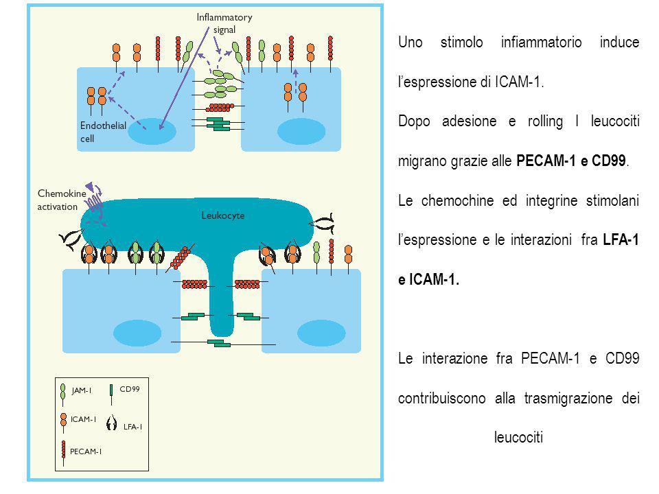 Uno stimolo infiammatorio induce l'espressione di ICAM-1.