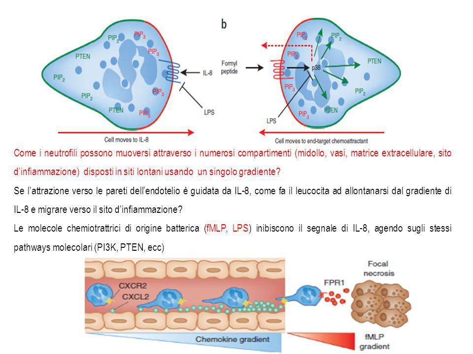 Nabissi 14 Come i neutrofili possono muoversi attraverso i numerosi compartimenti (midollo, vasi, matrice extracellulare, sito d'infiammazione) disposti in siti lontani usando un singolo gradiente.