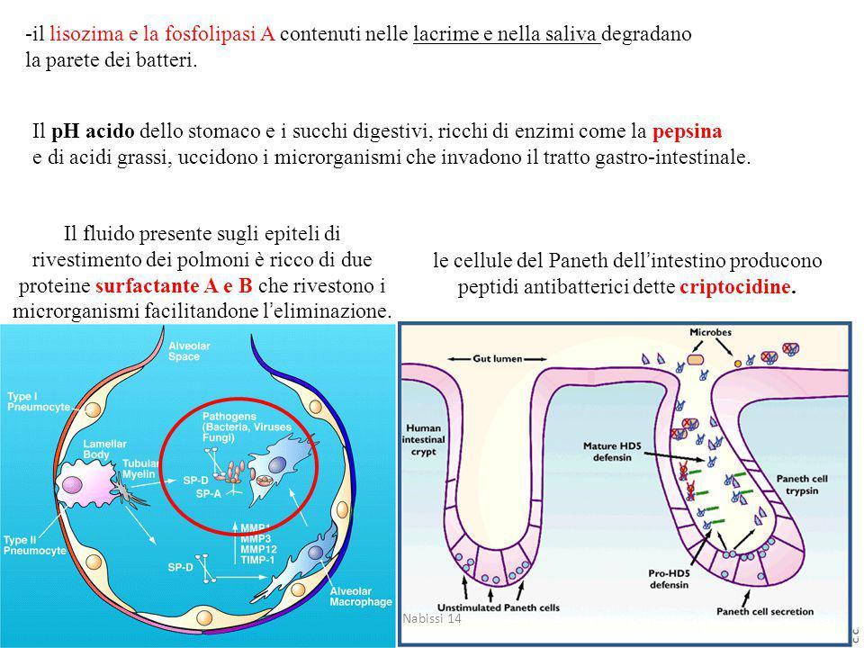 -il lisozima e la fosfolipasi A contenuti nelle lacrime e nella saliva degradano la parete dei batteri.