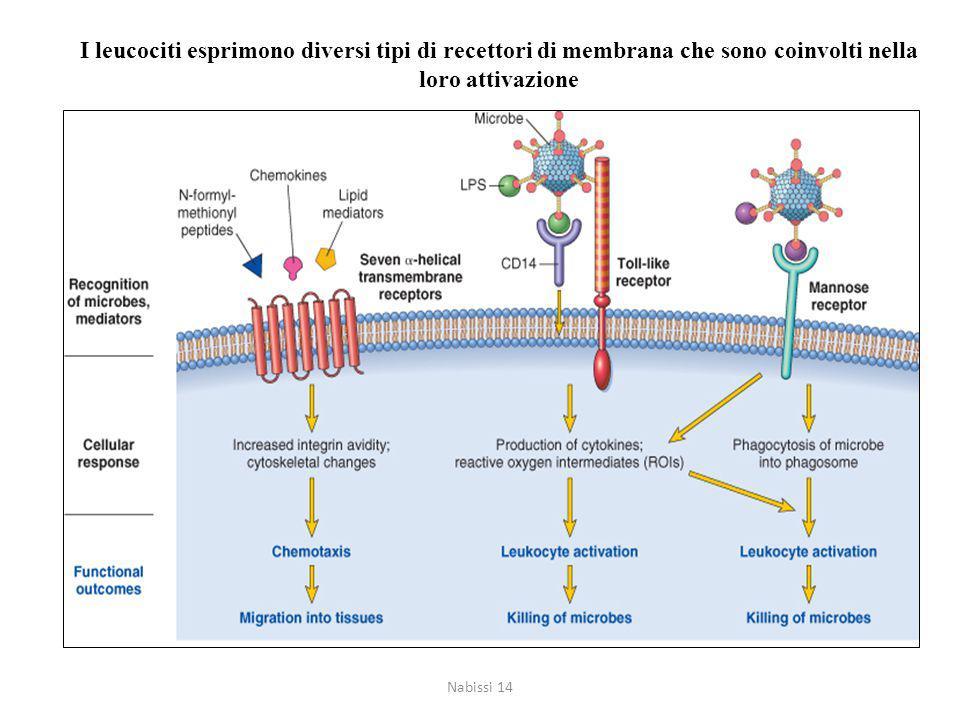 I leucociti esprimono diversi tipi di recettori di membrana che sono coinvolti nella loro attivazione Nabissi 14