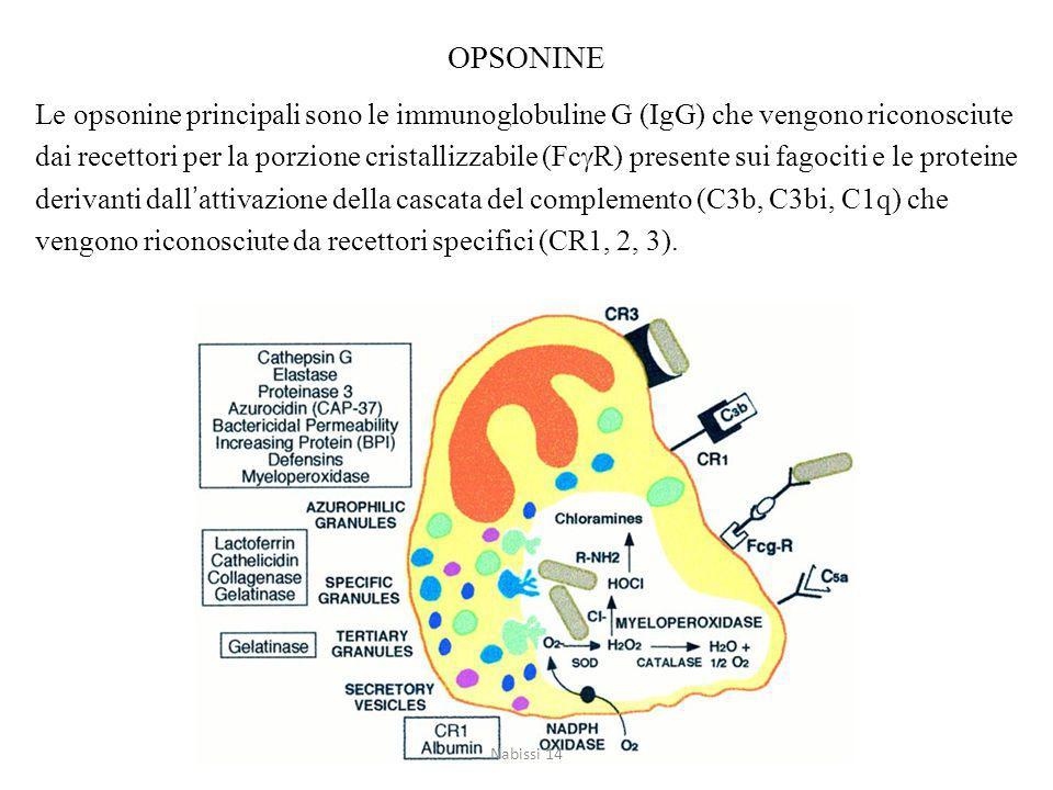 OPSONINE Le opsonine principali sono le immunoglobuline G (IgG) che vengono riconosciute dai recettori per la porzione cristallizzabile (Fc  R) presente sui fagociti e le proteine derivanti dall'attivazione della cascata del complemento (C3b, C3bi, C1q) che vengono riconosciute da recettori specifici (CR1, 2, 3).