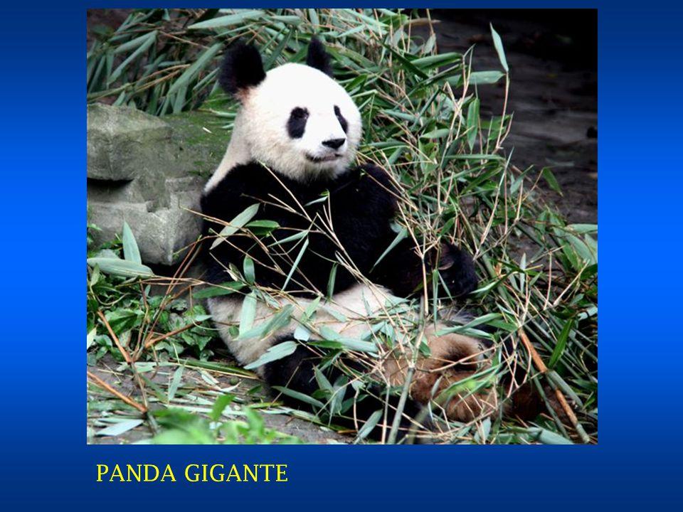 IL CENTRO PANDA DI CHENGDU