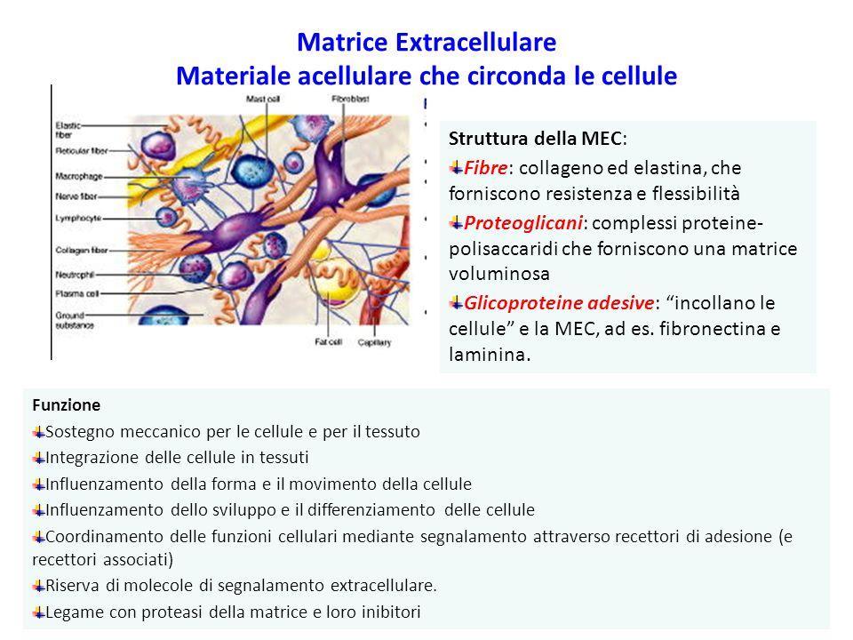 Matrice Extracellulare Materiale acellulare che circonda le cellule Struttura della MEC: Fibre: collageno ed elastina, che forniscono resistenza e flessibilità Proteoglicani: complessi proteine- polisaccaridi che forniscono una matrice voluminosa Glicoproteine adesive: incollano le cellule e la MEC, ad es.