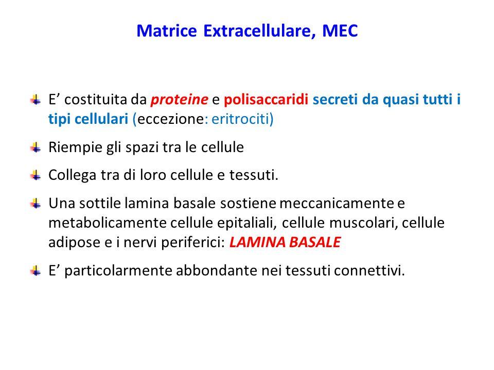 Matrice Extracellulare, MEC E' costituita da proteine e polisaccaridi secreti da quasi tutti i tipi cellulari (eccezione: eritrociti) Riempie gli spazi tra le cellule Collega tra di loro cellule e tessuti.