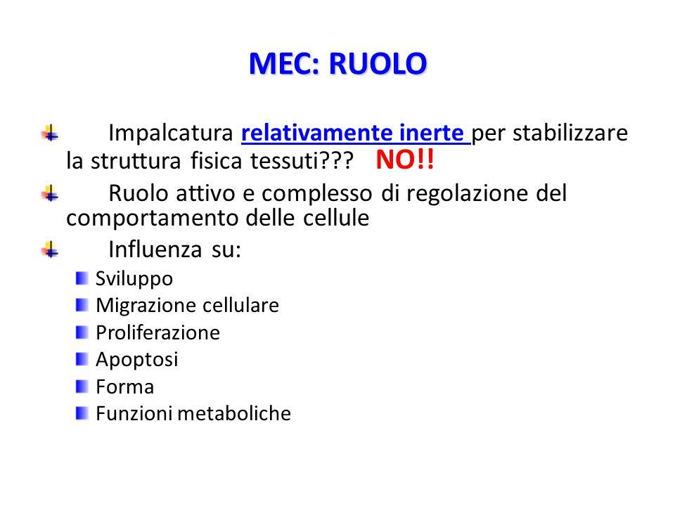 MEC: RUOLO Impalcatura relativamente inerte per stabilizzare la struttura fisica tessuti??.