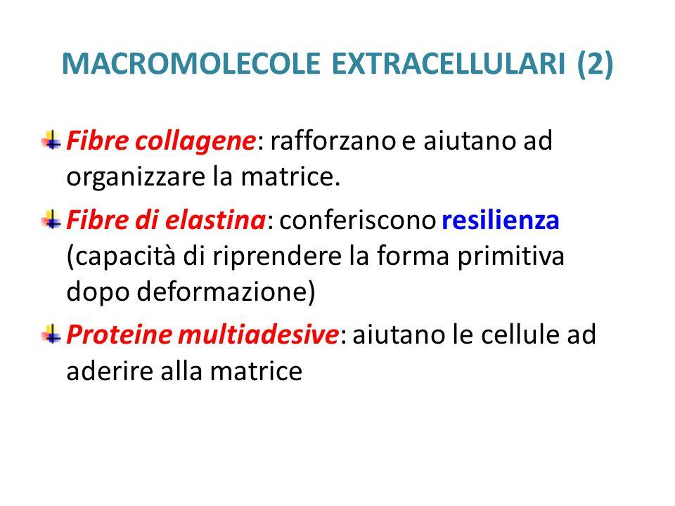 MACROMOLECOLE EXTRACELLULARI (2) Fibre collagene: rafforzano e aiutano ad organizzare la matrice.