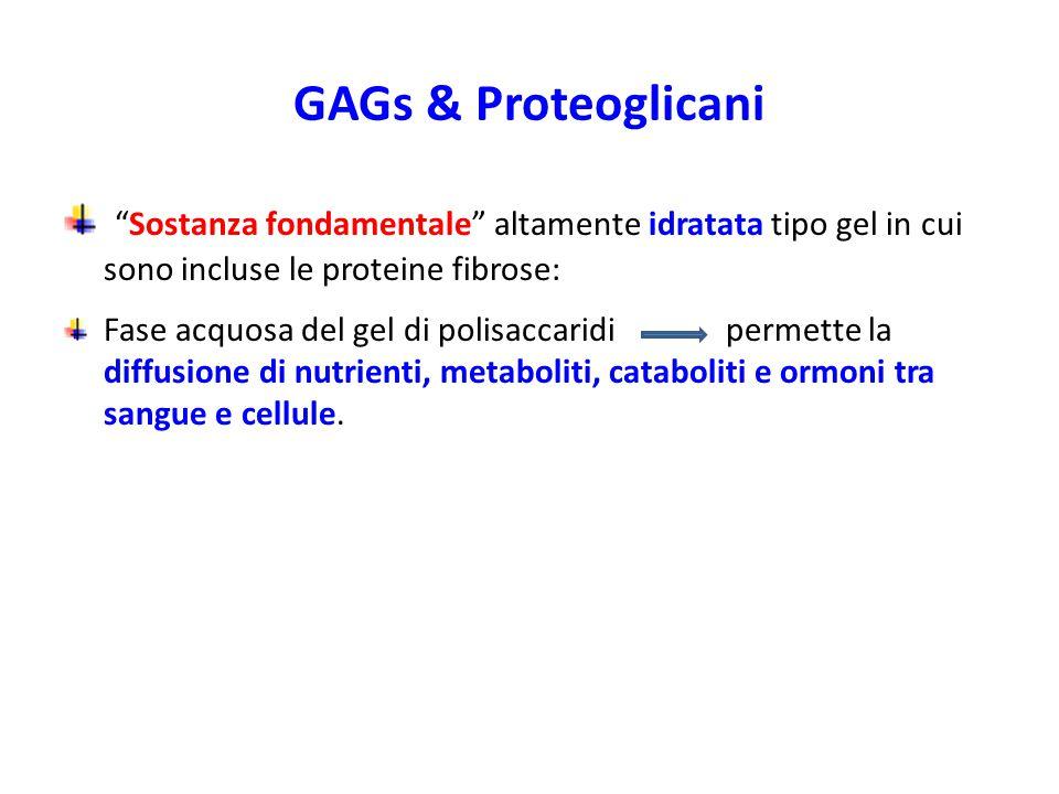 GAGs & Proteoglicani Sostanza fondamentale altamente idratata tipo gel in cui sono incluse le proteine fibrose: Fase acquosa del gel di polisaccaridi permette la diffusione di nutrienti, metaboliti, cataboliti e ormoni tra sangue e cellule.