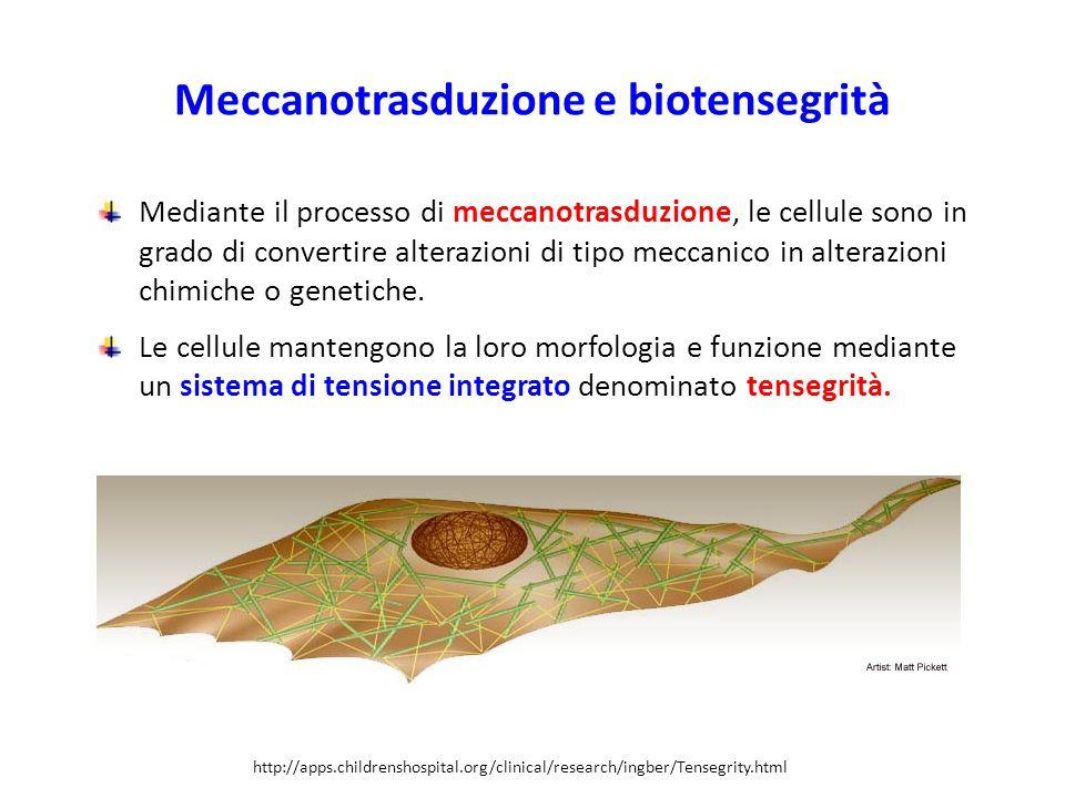 Meccanotrasduzione e biotensegrità Mediante il processo di meccanotrasduzione, le cellule sono in grado di convertire alterazioni di tipo meccanico in alterazioni chimiche o genetiche.