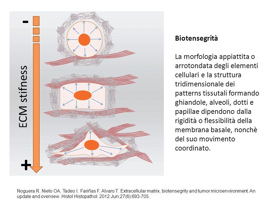 Biotensegrità La morfologia appiattita o arrotondata degli elementi cellulari e la struttura tridimensionale dei patterns tissutali formando ghiandole, alveoli, dotti e papillae dipendono dalla rigidità o flessibilità della membrana basale, nonchè del suo movimento coordinato.