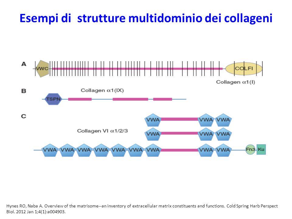 Esempi di strutture multidominio dei collageni Hynes RO, Naba A.