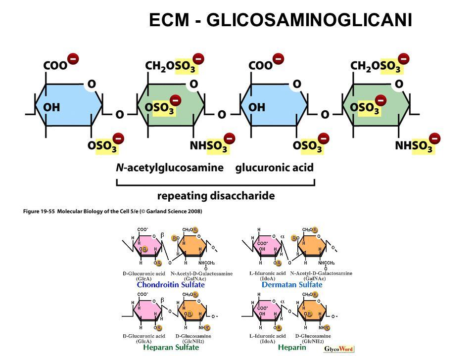 ECM - GLICOSAMINOGLICANI