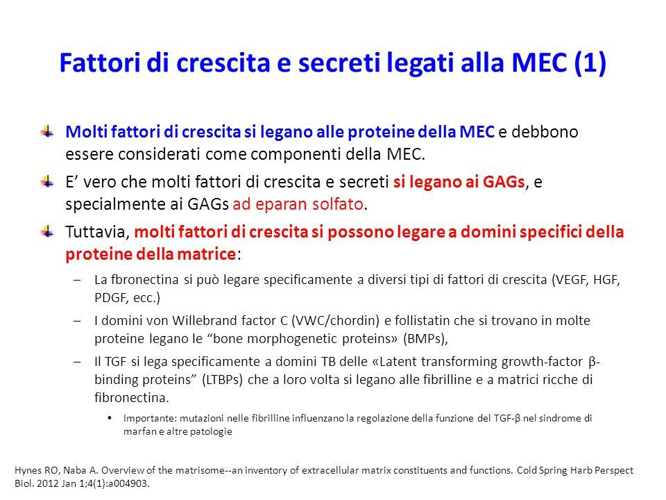 Fattori di crescita e secreti legati alla MEC (1) Molti fattori di crescita si legano alle proteine della MEC e debbono essere considerati come componenti della MEC.