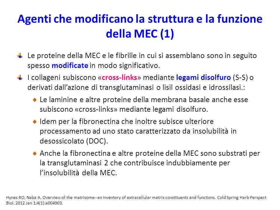 Agenti che modificano la struttura e la funzione della MEC (1) Le proteine della MEC e le fibrille in cui si assemblano sono in seguito spesso modificate in modo significativo.