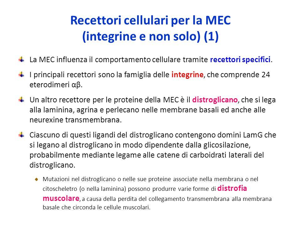 Recettori cellulari per la MEC (integrine e non solo) (1) La MEC influenza il comportamento cellulare tramite recettori specifici.