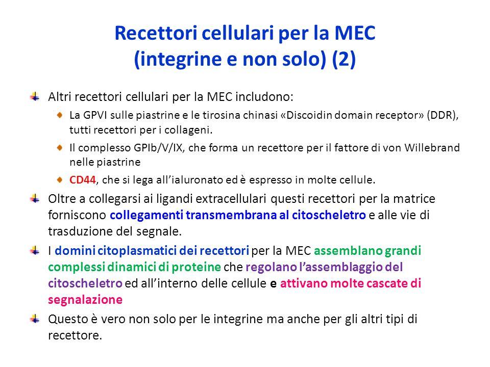 Recettori cellulari per la MEC (integrine e non solo) (2) Altri recettori cellulari per la MEC includono: La GPVI sulle piastrine e le tirosina chinasi «Discoidin domain receptor» (DDR), tutti recettori per i collageni.