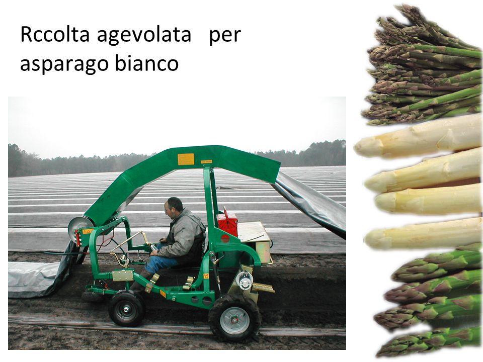 Fonte: freshplaza Rccolta agevolata per asparago bianco