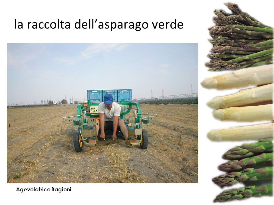 la raccolta dell'asparago verde Agevolatrice Bagioni