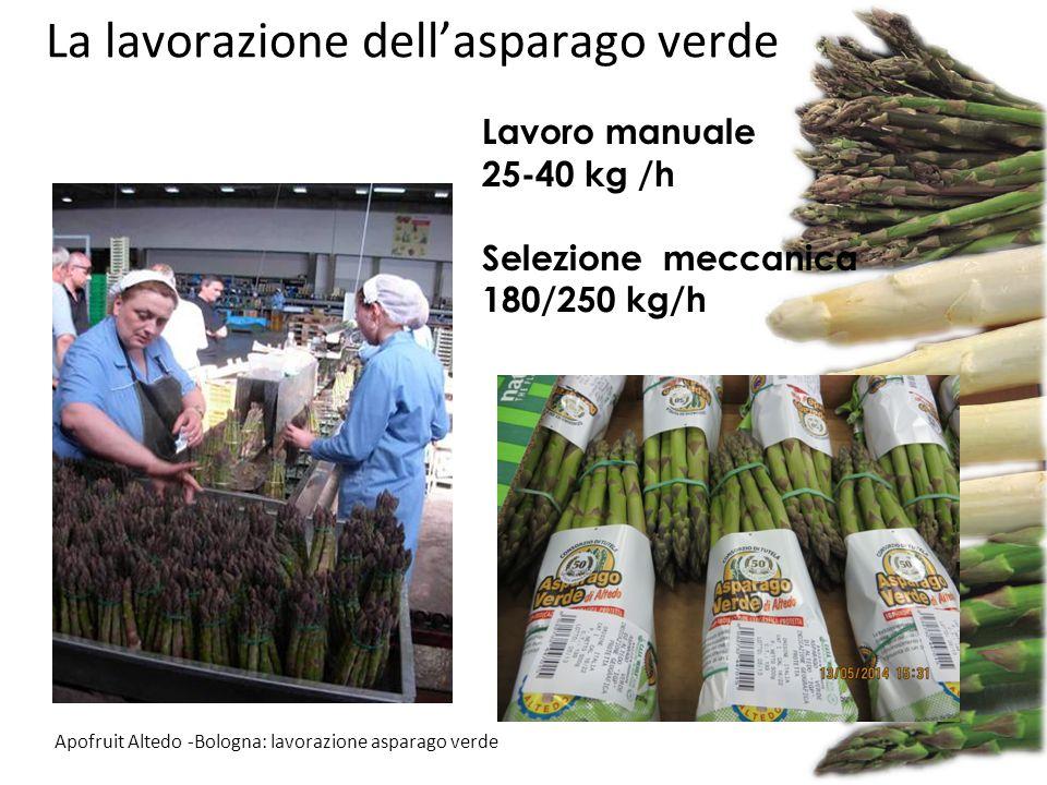 La lavorazione dell'asparago verde Apofruit Altedo -Bologna: lavorazione asparago verde Lavoro manuale 25-40 kg /h Selezione meccanica 180/250 kg/h