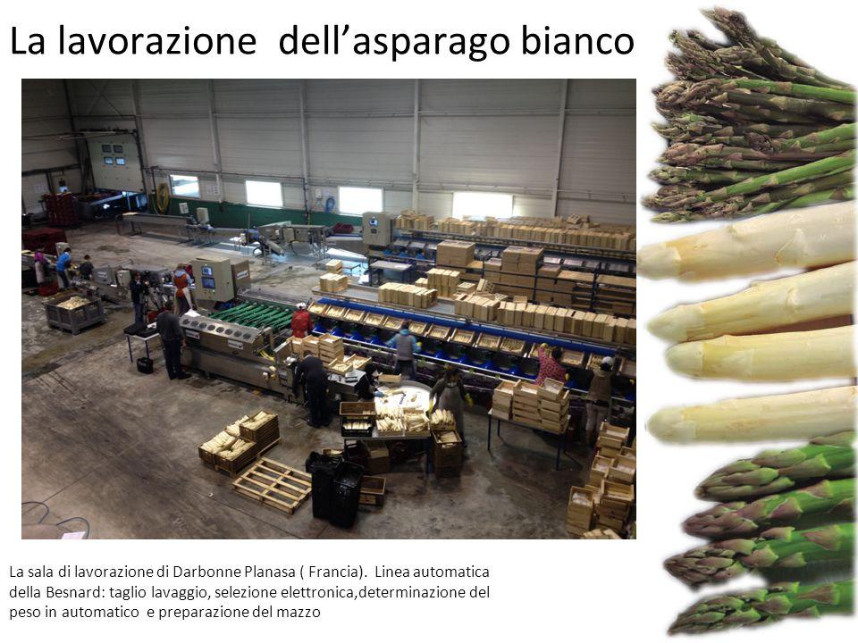 La lavorazione dell'asparago bianco La sala di lavorazione di Darbonne Planasa ( Francia). Linea automatica della Besnard: taglio lavaggio, selezione