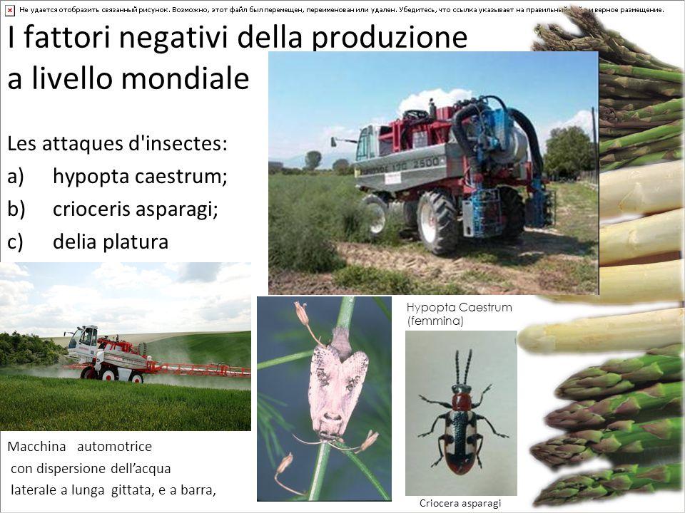 I fattori negativi della produzione a livello mondiale Les attaques d'insectes: a)hypopta caestrum; b)crioceris asparagi; c)delia platura Criocera asp
