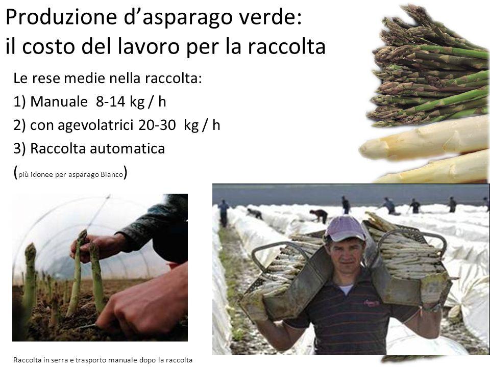 Produzione d'asparago verde: il costo del lavoro per la raccolta Le rese medie nella raccolta: 1) Manuale 8-14 kg / h 2) con agevolatrici 20-30 kg / h