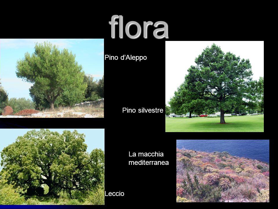 flora Pino d'Aleppo Pino silvestre Leccio La macchia mediterranea