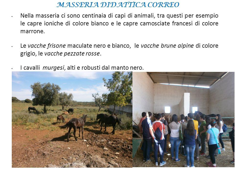 Nella masseria ci sono centinaia di capi di animali, tra questi per esempio le capre ioniche di colore bianco e le capre camosciate francesi di colore