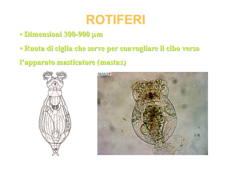 ROTIFERI Dimensioni 300-900  m Ruota di ciglia che serve per convogliare il cibo verso l'apparato masticatore (mastax) Dimensioni 300-900  m Ruota d