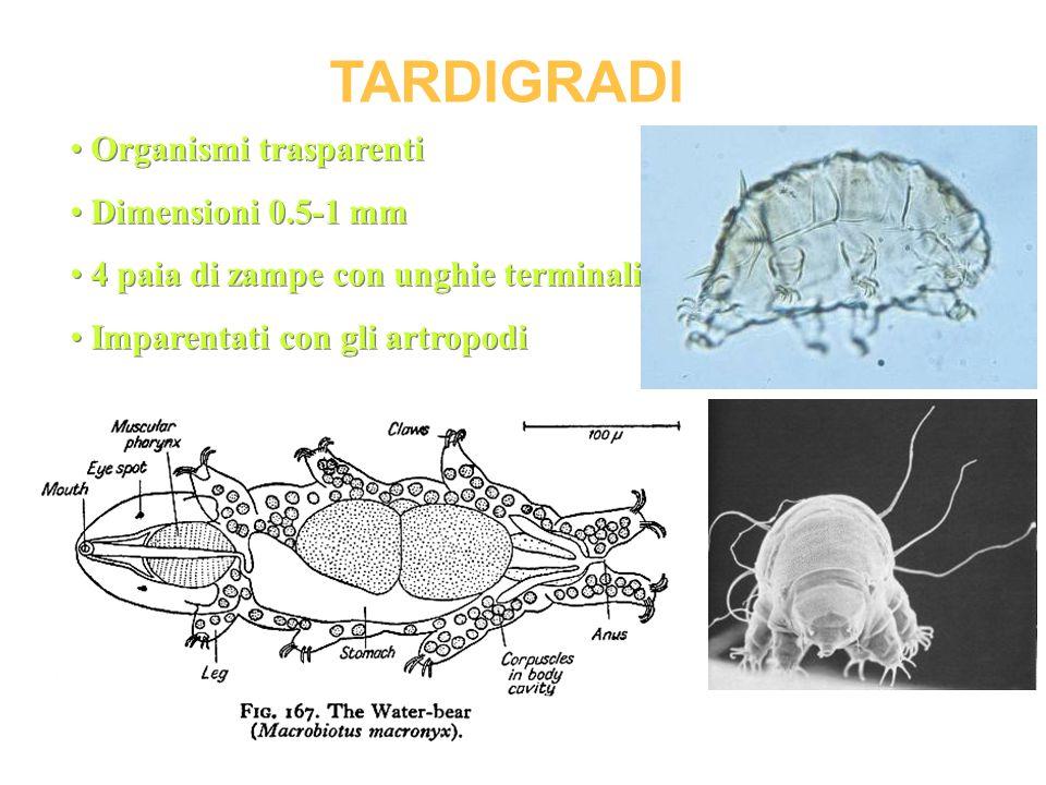 TARDIGRADI Organismi trasparenti Dimensioni 0.5-1 mm 4 paia di zampe con unghie terminali Imparentati con gli artropodi Organismi trasparenti Dimensio