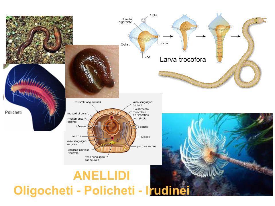 Larva trocofora ANELLIDI Oligocheti - Policheti - Irudinei
