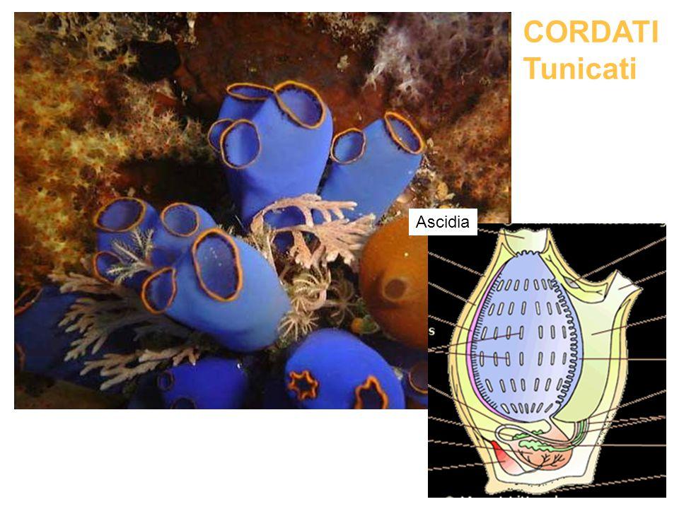 CORDATI Tunicati Ascidia
