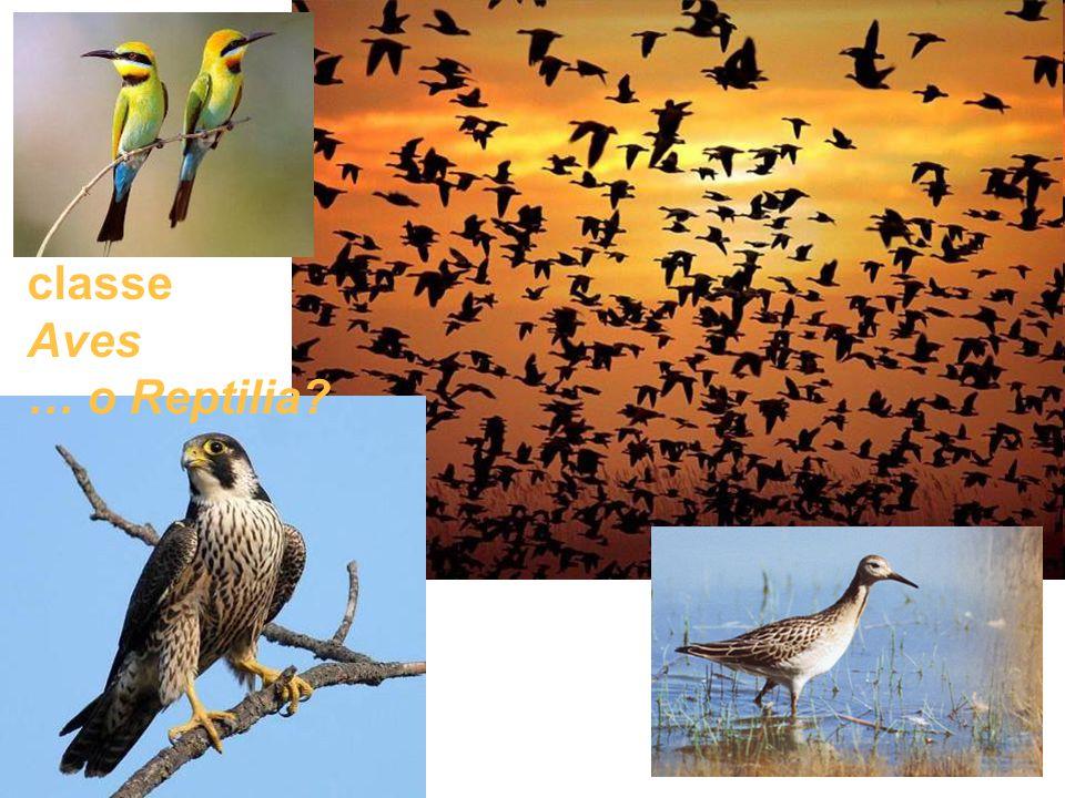 classe Aves … o Reptilia?