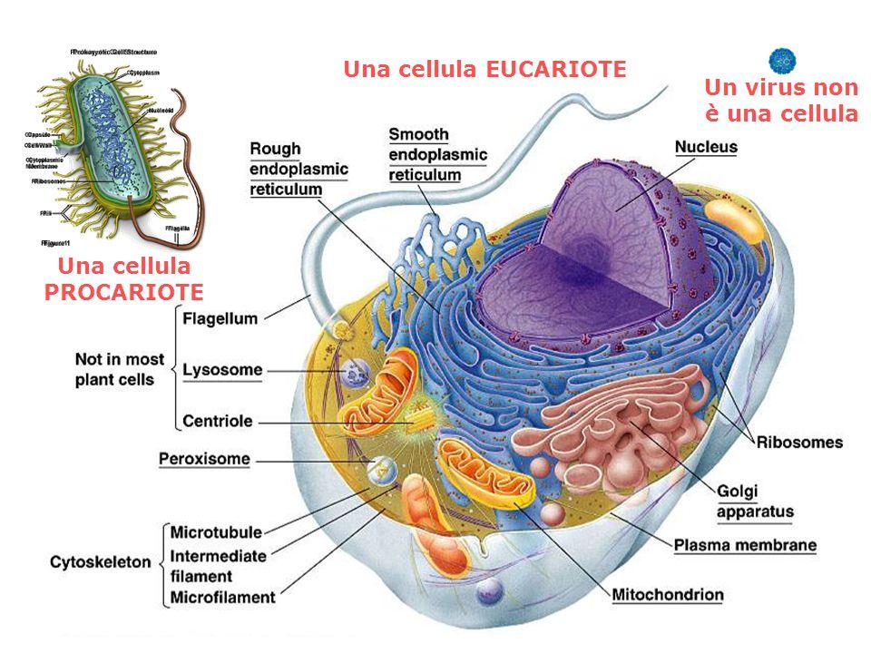 Una cellula PROCARIOTE Una cellula EUCARIOTE Un virus non è una cellula
