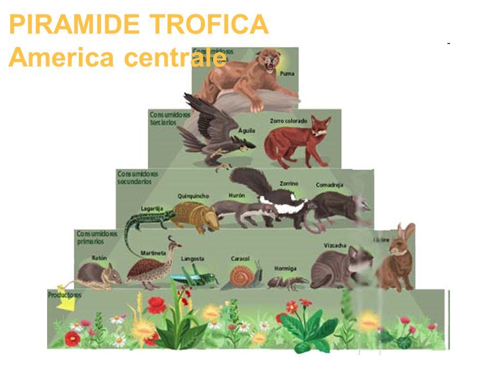 PIRAMIDE TROFICA America centrale