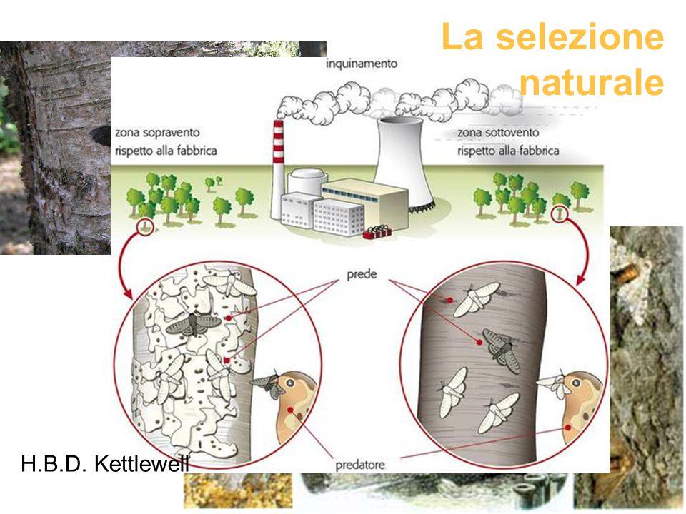 H.B.D. Kettlewell La selezione naturale