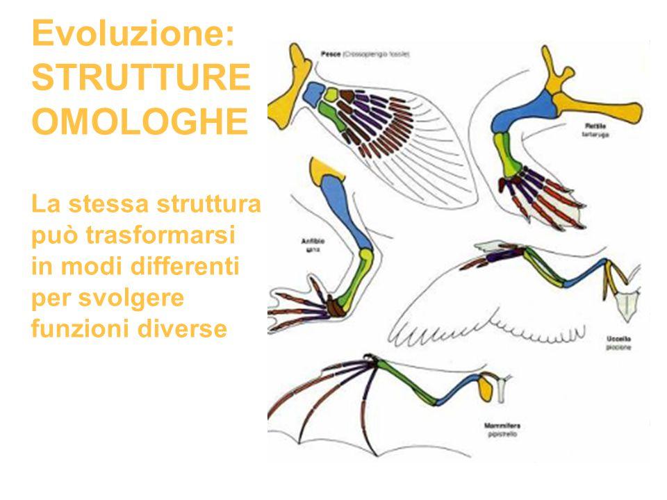 Evoluzione: STRUTTURE OMOLOGHE La stessa struttura può trasformarsi in modi differenti per svolgere funzioni diverse