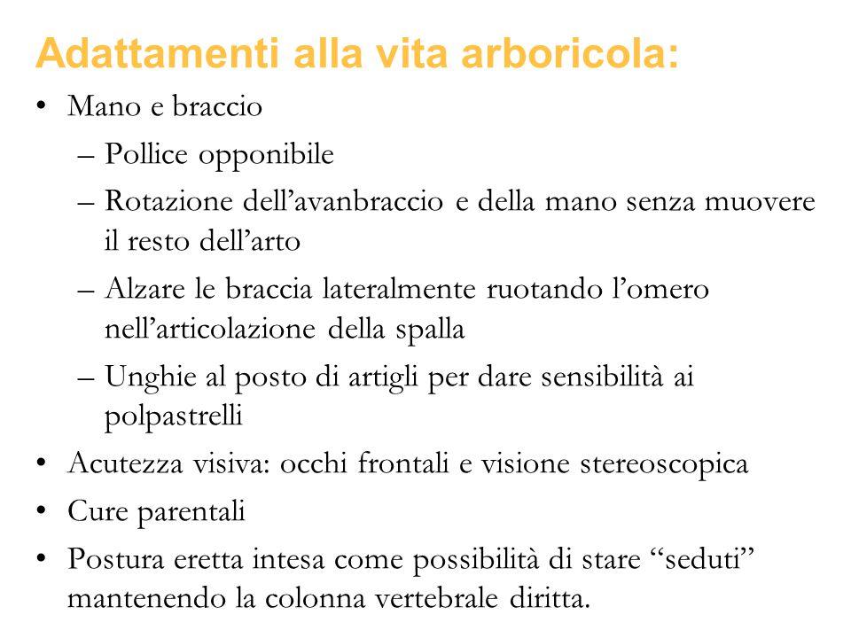 Adattamenti alla vita arboricola: Mano e braccio –Pollice opponibile –Rotazione dell'avanbraccio e della mano senza muovere il resto dell'arto –Alzare