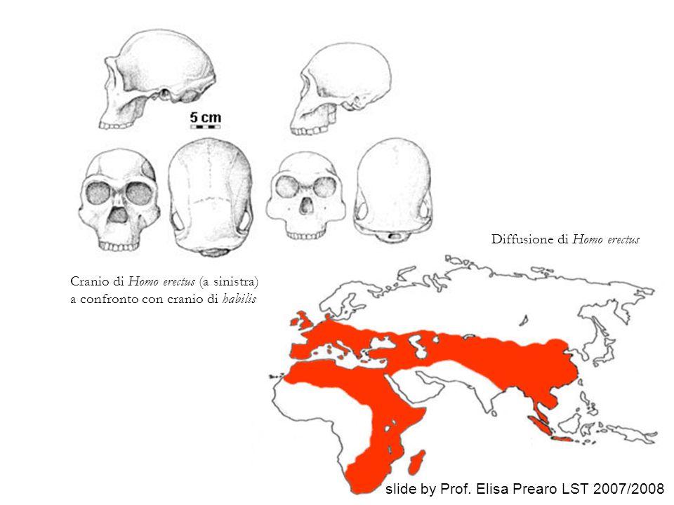 Cranio di Homo erectus (a sinistra) a confronto con cranio di habilis Diffusione di Homo erectus slide by Prof. Elisa Prearo LST 2007/2008