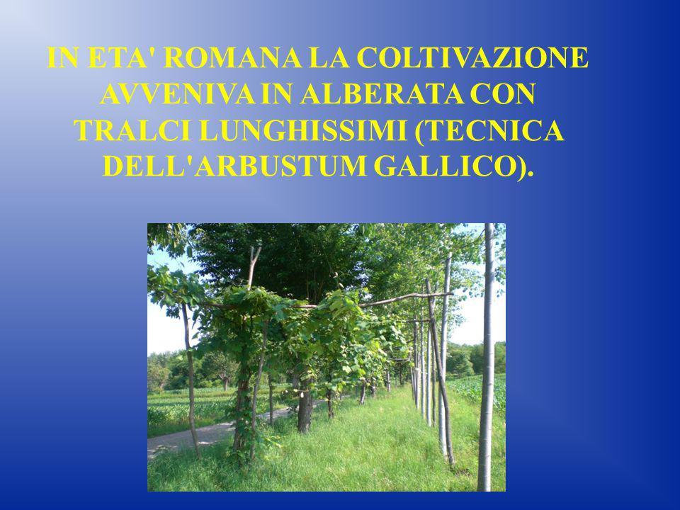 IN ETA ROMANA LA COLTIVAZIONE AVVENIVA IN ALBERATA CON TRALCI LUNGHISSIMI (TECNICA DELL ARBUSTUM GALLICO).