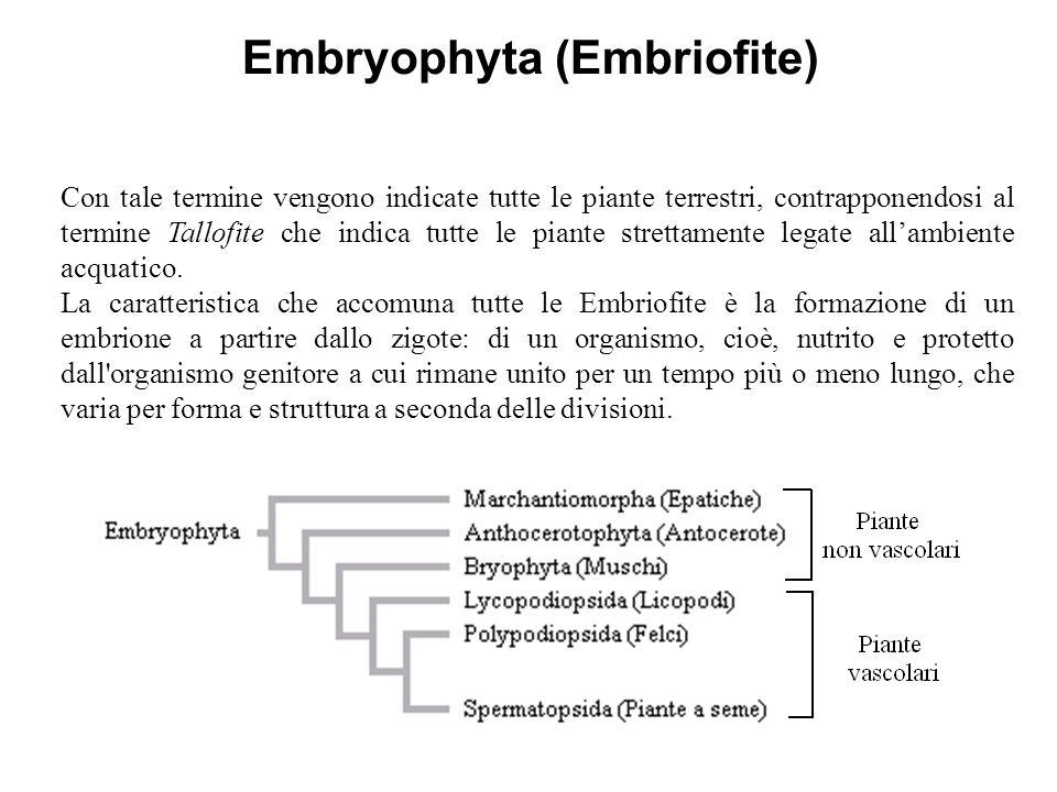 Embryophyta (Embriofite) Con tale termine vengono indicate tutte le piante terrestri, contrapponendosi al termine Tallofite che indica tutte le piante
