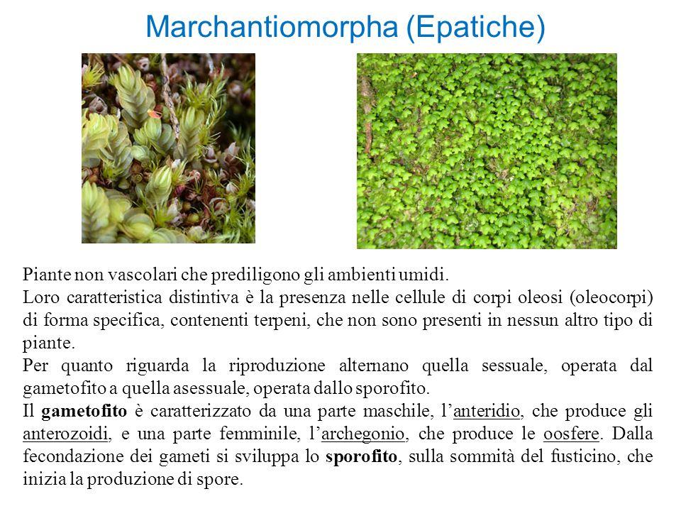 Marchantiomorpha (Epatiche) Piante non vascolari che prediligono gli ambienti umidi. Loro caratteristica distintiva è la presenza nelle cellule di cor