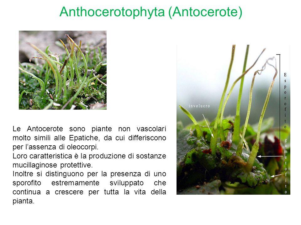 Anthocerotophyta (Antocerote) Le Antocerote sono piante non vascolari molto simili alle Epatiche, da cui differiscono per l'assenza di oleocorpi. Loro
