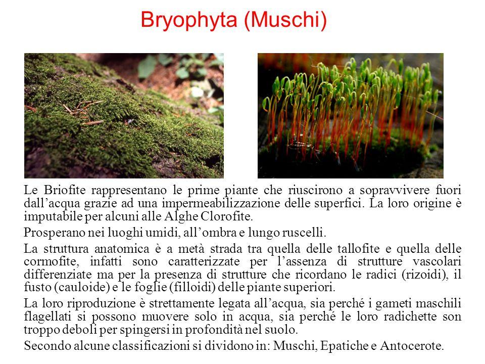 Bryophyta (Muschi) Le Briofite rappresentano le prime piante che riuscirono a sopravvivere fuori dall'acqua grazie ad una impermeabilizzazione delle s