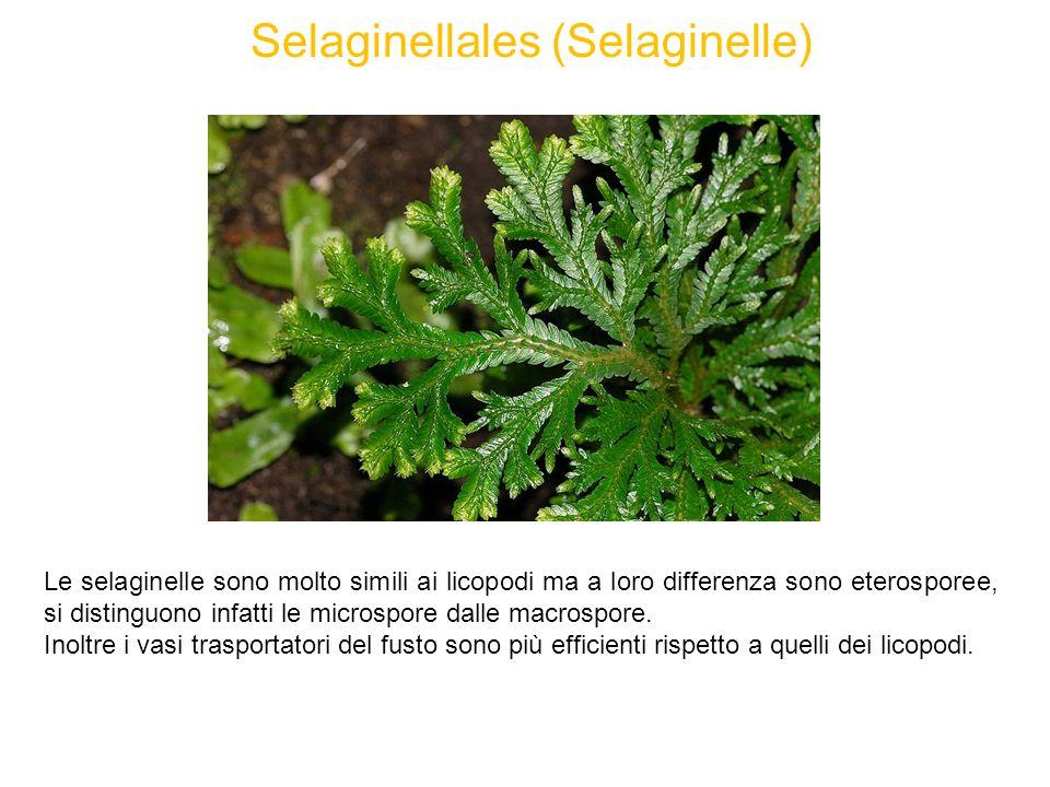 Selaginellales (Selaginelle) Le selaginelle sono molto simili ai licopodi ma a loro differenza sono eterosporee, si distinguono infatti le microspore