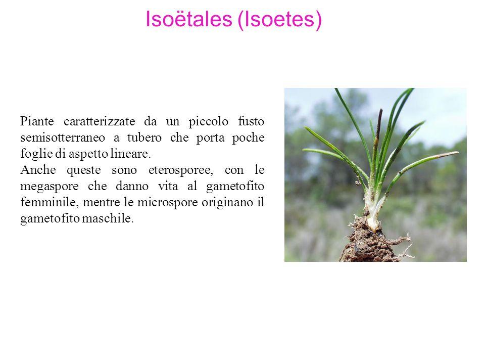 Isoëtales (Isoetes) Piante caratterizzate da un piccolo fusto semisotterraneo a tubero che porta poche foglie di aspetto lineare. Anche queste sono et