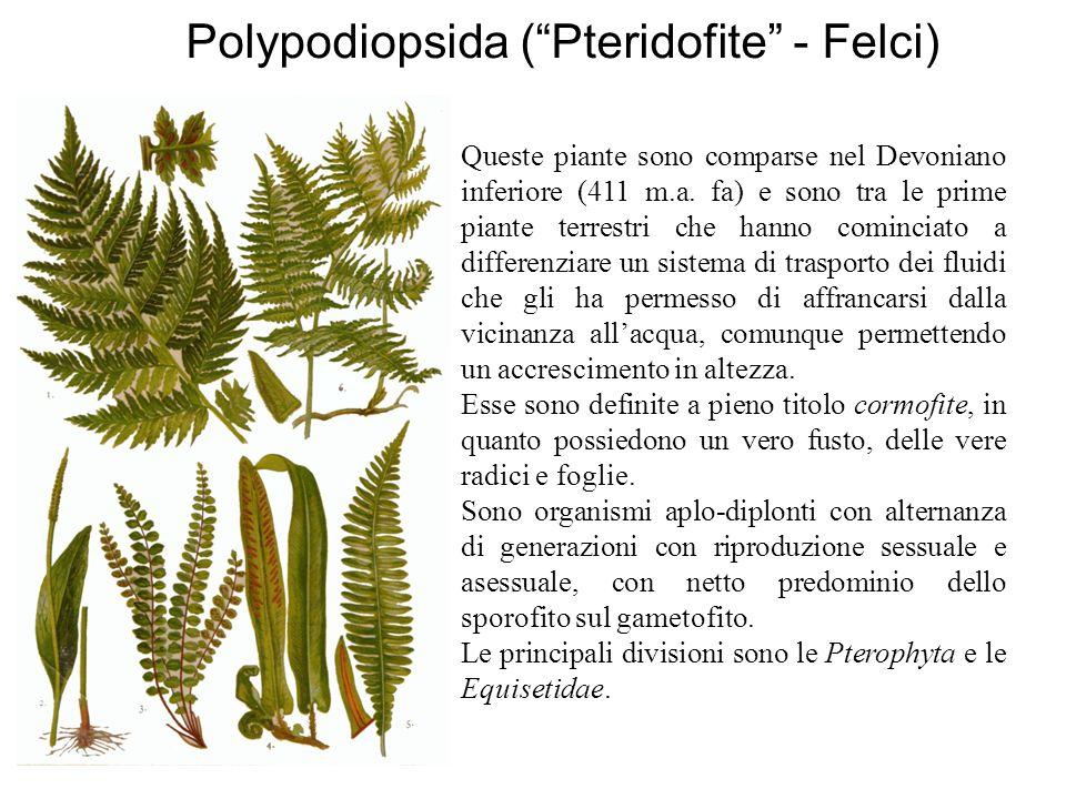 """Polypodiopsida (""""Pteridofite"""" - Felci) Queste piante sono comparse nel Devoniano inferiore (411 m.a. fa) e sono tra le prime piante terrestri che hann"""