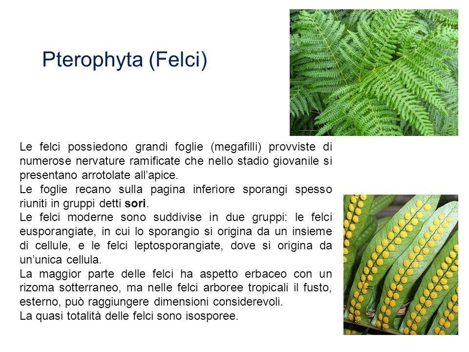 Le felci possiedono grandi foglie (megafilli) provviste di numerose nervature ramificate che nello stadio giovanile si presentano arrotolate all'apice